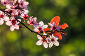 Flowers of apple tree on a blur background — Stock Photo