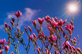 Magnolia flowers on a blury background at sunset — Stock Photo
