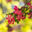 Red flowers of apple tree on a grass — Foto de Stock