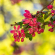 Red flowers of apple tree on a grass — Stock Photo