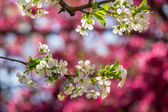 Flowers of apple tree on a bulr background — Stock Photo