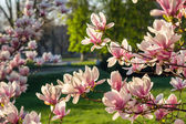 Magnolia flowers on a blury background — Foto de Stock