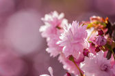 Pink blossomed sakura flowers — Stock Photo