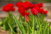 Two red tulip on color blurred background  — Stock Photo