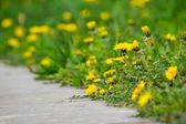 Dandelion on green grass blur background — Stock Photo
