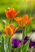Orange tulip on color blurred background  — Stok fotoğraf