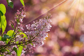 Lilac flowers  in spring — Stock Photo