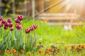 Dark tulip with stripe on color blurred background in rays — Stock Photo