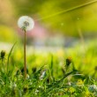 White dandelion on green grass blur background — Stock Photo