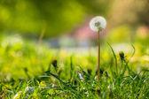 White dandelion on green grass blur background — Stock Photo