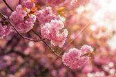 цветы розовые расцвела сакура — Стоковое фото