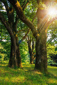 Forest glade in  shade of the trees in sun rays — Stock Photo