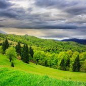 Floresta de coníferas, na encosta de uma montanha — Foto Stock