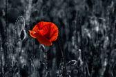 Big fresh poppy in the field — Stock Photo