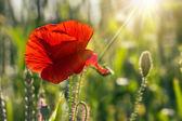 Poppy fresco grande en el campo — Foto de Stock