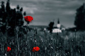 Big fresh poppies in the field — Stock Photo