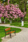 Blossomed sakura flowers over the bench — Stock Photo