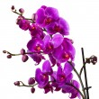 Purple orchid flower on white background — Stock Photo #49373123