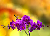 Fuchsia orchid flower on blur background — Stock Photo