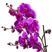 Purple orchid flower on white background — Stock Photo