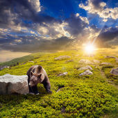 Bear among stones on the hillside at sunset — Stock Photo