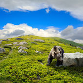 Bear among stones on the hillside — Stock Photo