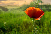 Red poppy on a blurred background  at sunset — Stock Photo