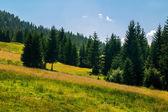 Jehličnatý les na svahu hory — Stock fotografie