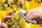 Farmer harvest white grapes — Stock Photo