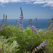 Coulter's Lupine Overlooking the Pacific Ocean - Stock Photo