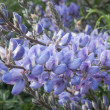 Coulter's Lupine - Stock Photo