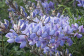 Coulter's Lupine — Stock Photo