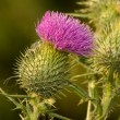 Stock Photo: Milk Thistle in Full Bloom
