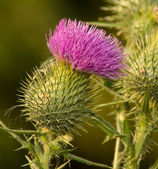 Milk Thistle in Full Bloom — Stock Photo