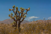 Joshua Tree in the Mohave Desert — Stock Photo