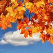 Stock Photo: Turning Maple Leaves