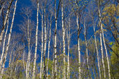 Stand of Aspen in Early Spring — Stock Photo