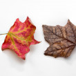 Two Autumn Maple Leaves Isolated on White — Stockfoto