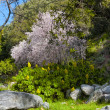 Stock Photo: Blooming Tree in Early Spring at Chantry Flats