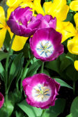 Grouping of Purple Tulips in Full Bloom — Stock Photo