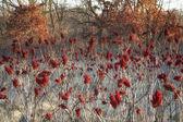 Vivace rosso sommacco pronto per l'inverno — Foto Stock