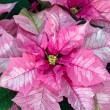 Pink Poinsettia — Stock Photo