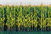 Tall Row of Field Corn — Stock Photo