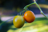 Vine Riped Tomatoes Ready for Harvest — Stock Photo