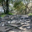 Rain Has Eroded Trail, Leaving Rocks and Gnarled Tree Roots — Stock Photo #18288983