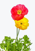 Red and Yellow Poppies with Green Foliage — Stock Photo