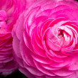 Pink Ranunculus - Stock Photo