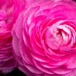 Stock Photo: Pink Ranunculus