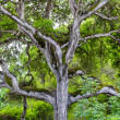 Towering Branches of Hybrid Live Oak Tree — Stock Photo