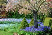 Plačící japonské crabapple strom v plném květu — Stock fotografie